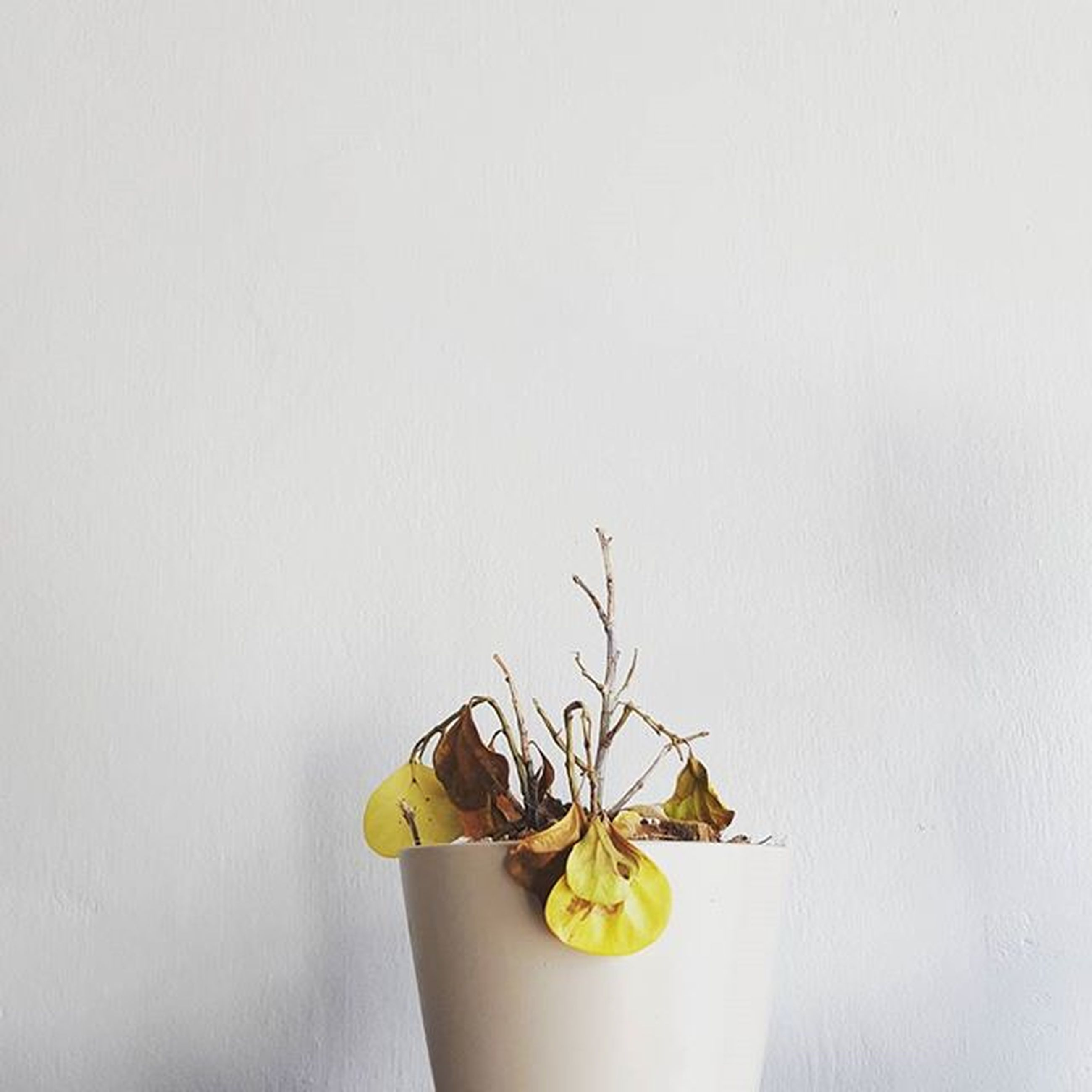 studio shot, copy space, white background, wall - building feature, yellow, indoors, still life, freshness, close-up, flower, wall, table, stem, leaf, vase, no people, single object, decoration, fruit, healthy eating