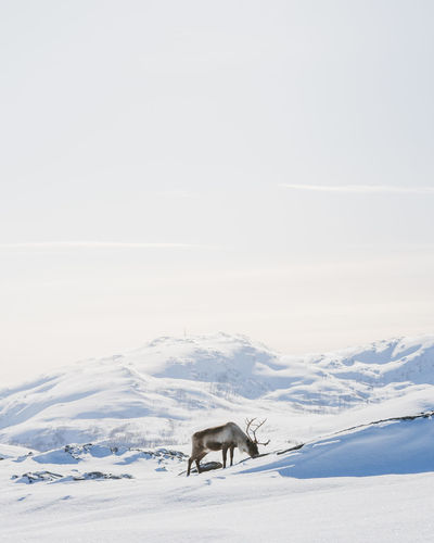 Reindeer looking for food on top of the mountains. Nature Norway Reindeer Animal Animal Themes Animal Wildlife Animals In The Wild Beauty In Nature Cold Temperature Day Land Landscape Mammal Mountains And Sky Nature Nature_collection No People One Animal Outdoors Scenics - Nature Snow Snowcapped Mountain Vertebrate White Color Winter