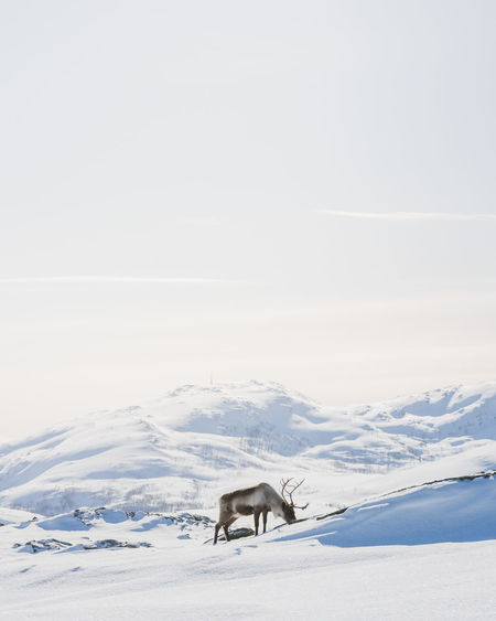 Horse standing on snow covered landscape