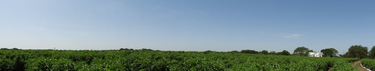 Panorama of the tomato field Plant Sky Growth Land Field Beauty In Nature Landscape Agriculture Green Color Copy Space Nature Crop  Day Rural Scene Environment Tranquil Scene Farm Tree