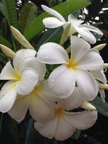Pattern Pieces Plumeria White Flowers Flowers In Rain Water On Petals Chiang Mai | Thailand IPhoneography Nature Pattern IPS2016Nature Spotted In Thailand