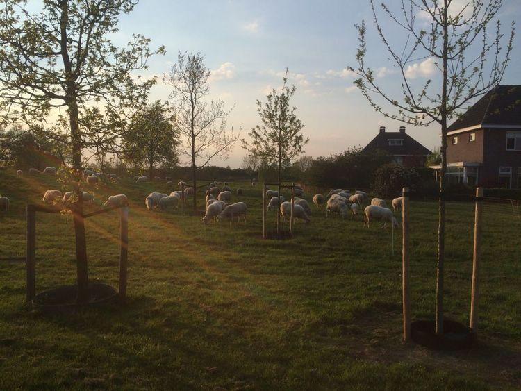 Sheep Sheeps Schapen Schaapskudde Schaap
