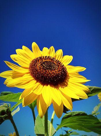 荒サイ木根川橋  Flower Collection Check This Out Sky Sunshine Taking Photos Bulue Sky Eyem Nature Lovers  Sunflower Eyem Best Shots