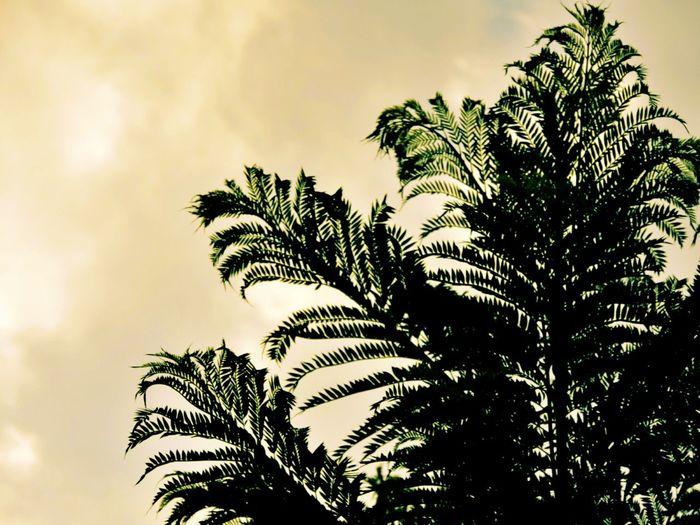 Palm Tree Nature Growth Tree Low Angle View SilhuetteBeauty In Nature Plant Leaves Cereal Plant Leaf Beauty In Nature Sky No People Outdoors Close-up Day The Week On Eyem Taking Photos EyeEm Nature Lover Nature_collection From My Point Of View EyeEm Best Shots