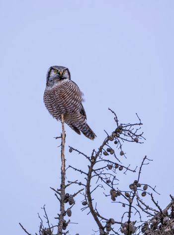 Northern Hawk Owl Bird Photography Owl Streamzoofamily Malephotographerofthemonth Bird Animals In The Wild One Animal Perching Animal Wildlife Low Angle View Animal Themes Clear Sky Bird Of Prey Day Nature No People Tree