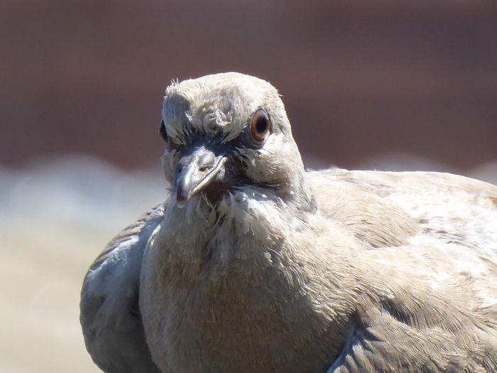 Vogels Rheden Veluwezoom Duif