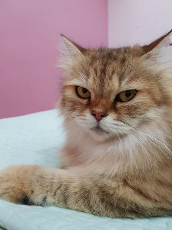 Domestic Cat Longhaired Cats Pets Feline Portrait Looking At Camera Close-up Mammal