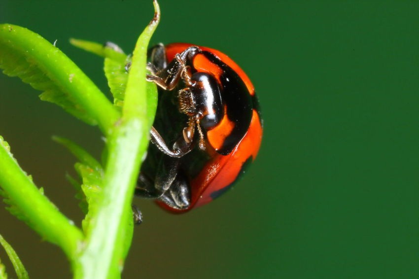 Ladybug Animal Animal Themes Animal Wildlife Animals In The Wild Beauty In Nature Beetle Close-up Day Green Color Growth Insect Invertebrate Leaf Macro Nature No People One Animal Orange Color Outdoors Plant Plant Part