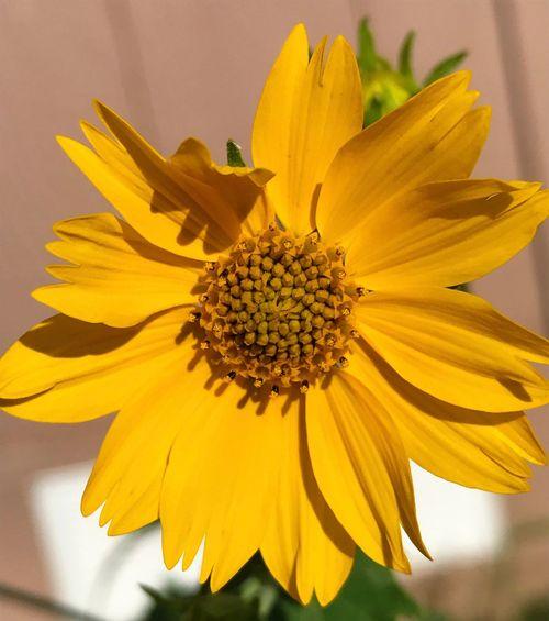 """Sunflower Wave"" Detailed closeup of a beautiful Summer sunflower waving its warm greeting. Detail New Mexico Photography New Mexico Photography Wildflower Sunflowers Flower Yellow Petal Freshness Plant Flower Head Close-up Nature Focus On Foreground Sunflower"