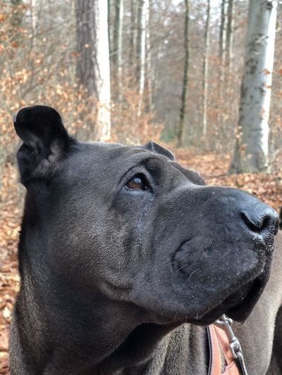 IPhone X Animal Themes Close-up Day Dog Domestic Animals Nature No People One Animal Outdoors Pets Portrait Shar Pei