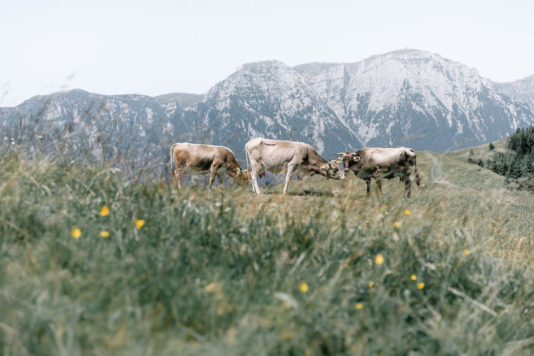 Her of cows in a field against mountains