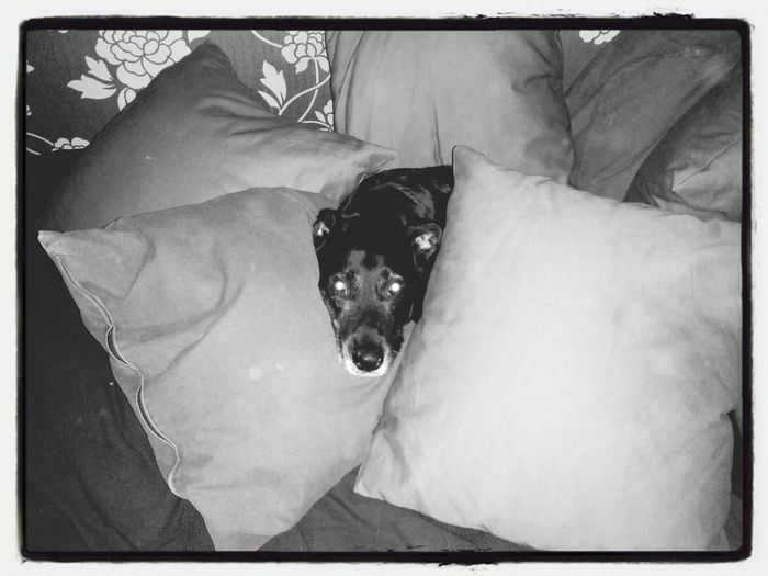 """Sissy  min Hund eller """"prinsessa"""". Inte alltför glad i att jag höll på och dammsög. Pets"""