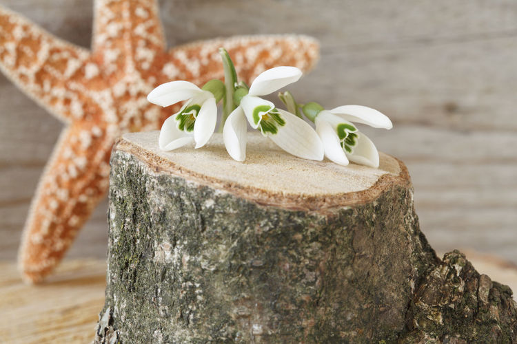 Close-up of snowdrops on tree stump against dry star fish