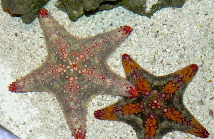 Starfish  Star Shape Close-up Sea Life Two Fishtanks Outdoors Water Nature Growth Aquarium Shape Star