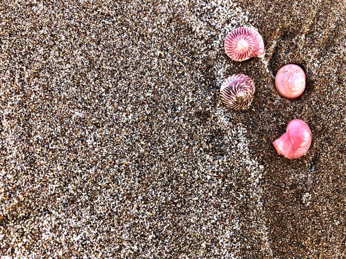 Marine Life Beautiful Shells Beach Scene  Sealife Scene Pink And Grey Text Space Copy Space Grey Sand Grains Of Sand Pink Sea Snail Sea Snails Pink Sea Shells Pink Shells Beach Sand Nature Pink Color Day Outdoors No People Beauty In Nature Close-up