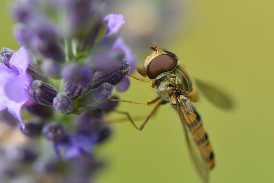 Hoverfly on flower Macro Photography Animal Themes Animals In The Wild Close-up Day Flower Hoverfly Hoverfly On Flower Insect Macro Nature No People One Animal Outdoors Pollination Purple Syrphidae