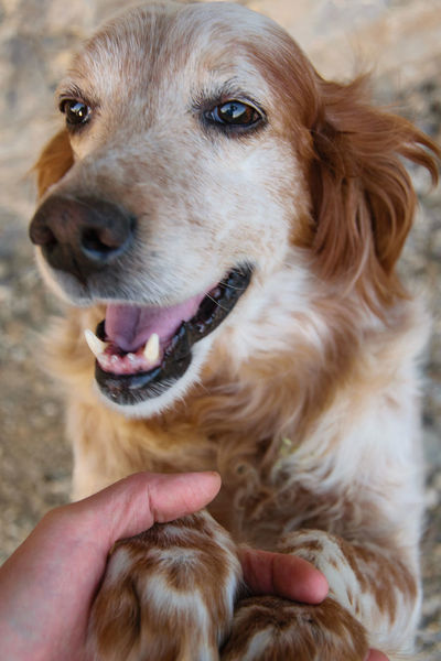 Happiness Joyful Love Setter The Great Outdoors - 2018 EyeEm Awards Therapy Canine Close-up Dog Dog Love Domestic Domestic Animals Emotion English Hand Human Body Part Mammal One Animal Owner Pet Therapy Pets Smile Smiling Vertebrate