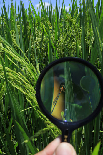 Paddy field in sekinchan Green Color Plant Growth Real People One Person Field Nature Grass Human Hand Day Land Human Body Part Holding Leisure Activity Unrecognizable Person Agriculture Hand Reflection Outdoors Beauty In Nature Finger Paddy Dragonfly My Best Photo