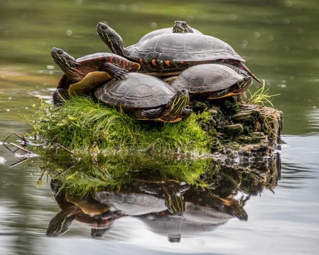Turtle Pile-up Animal Wildlife Log Nature Outdoors Painted Turtle Painted Turtles Piled Up Turtle Water Wild