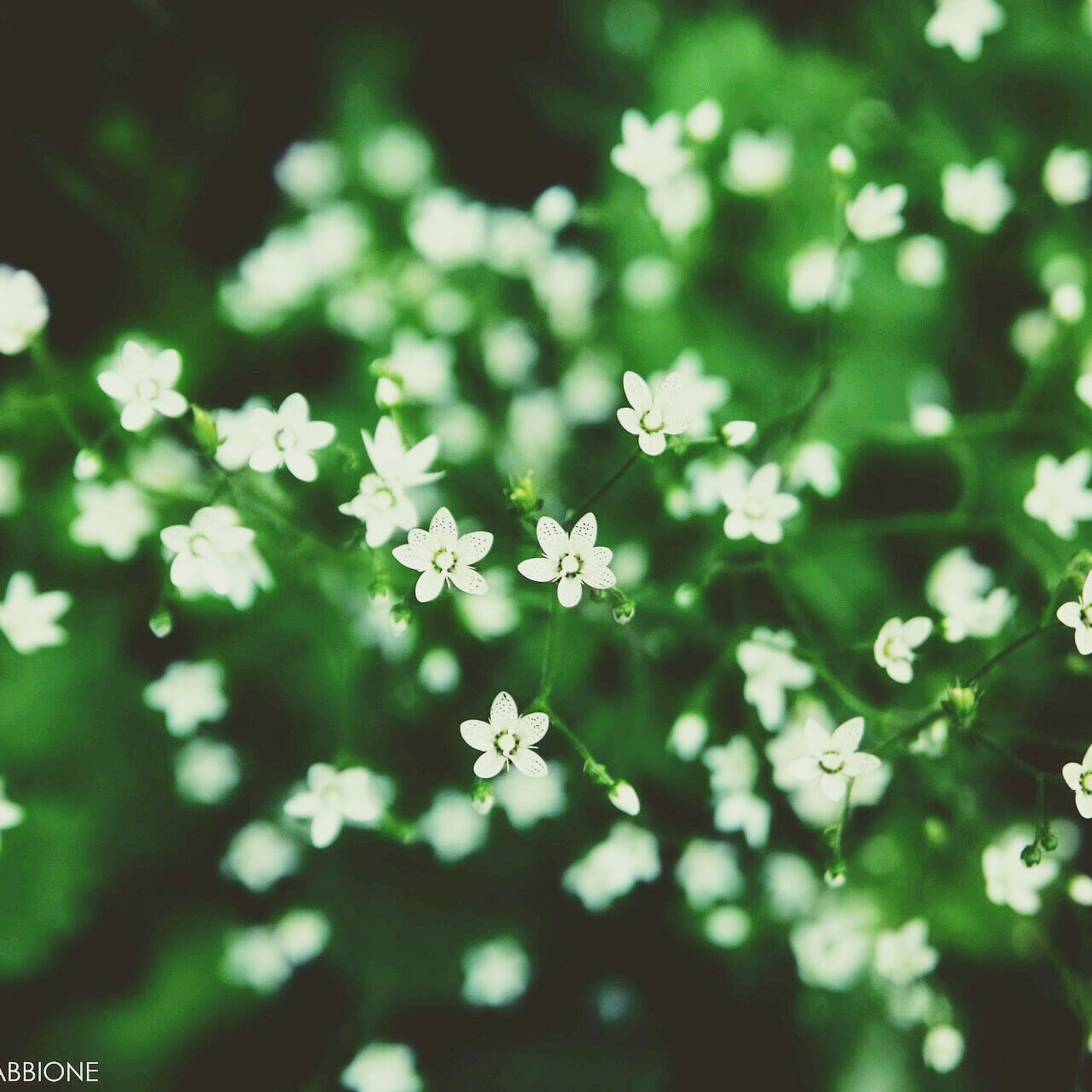 flower, white color, growth, freshness, nature, fragility, beauty in nature, selective focus, focus on foreground, close-up, petal, plant, white, blooming, outdoors, day, no people, in bloom, tree, park - man made space