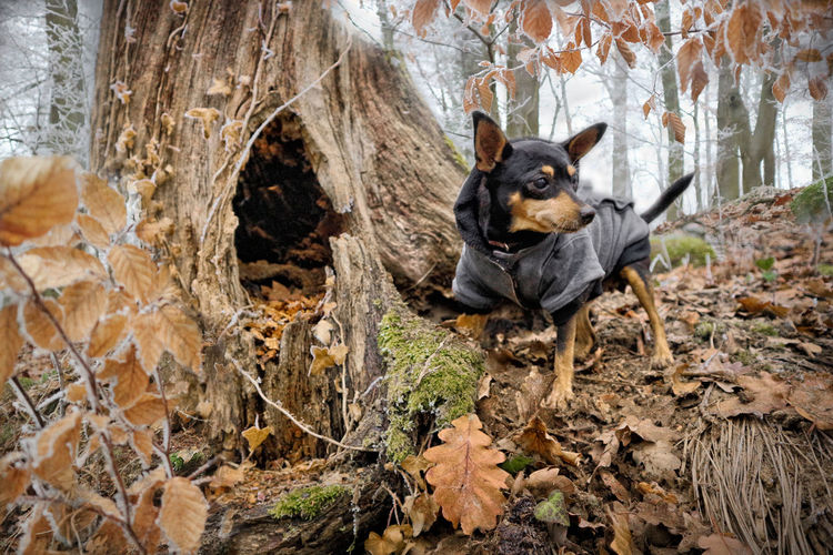 Portrait of a pincher dog in the forest