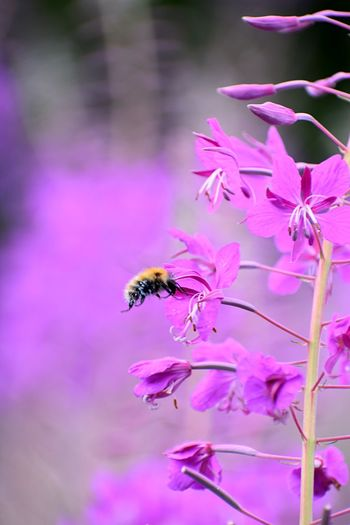 Bee pollinating purple flower Scotland Nature Flower Flowering Plant Animal Wildlife Animal Insect Plant Invertebrate Beauty In Nature Animal Themes Freshness Petal Animals In The Wild One Animal Fragility Bee Purple Close-up Vulnerability  Growth