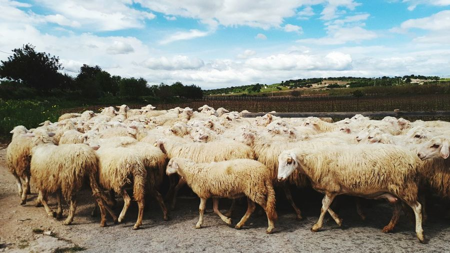 Large Group Of Animals Sheep Taurus Flock Of Sheep Herd Cloud - Sky Landscape Livestock Beauty In Nature Sky Outdoors Nature No People Mammal Day