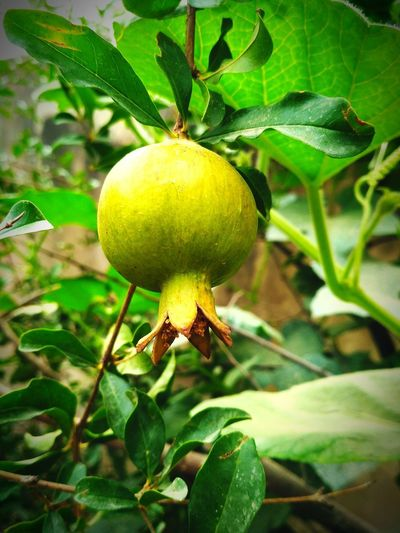 Visual Feast Fruit Green Color Growth Freshness Agriculture Healthy Eating Nature