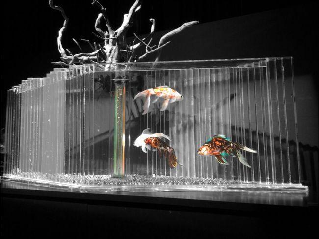 金魚 アクアリウム Gold Fish