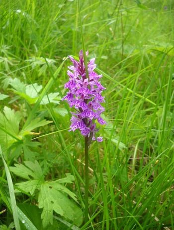 Wild orchid Purple Flower Nature Green Color Plant Beauty In Nature Bloom Blossom Botany Flora Floral Meadow Wild Wildorchid Wild Orchid Dolomites, Italy Dolomites Summer Mountain