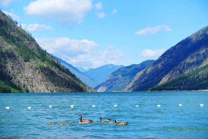 the peaceful family Seton Lake Canada Road Tripping Exploring Abventure Travel Peaceful Canada Goose Family Emerald Water Mountain Nature Lake Animal