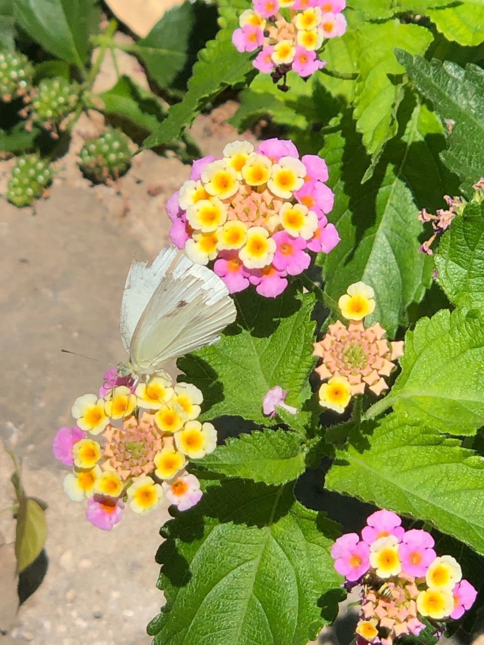 flower, plant, flowering plant, beauty in nature, freshness, vulnerability, fragility, growth, flower head, petal, inflorescence, lantana, nature, pink color, multi colored, leaf, close-up, plant part, day, high angle view, no people, outdoors, springtime, butterfly - insect