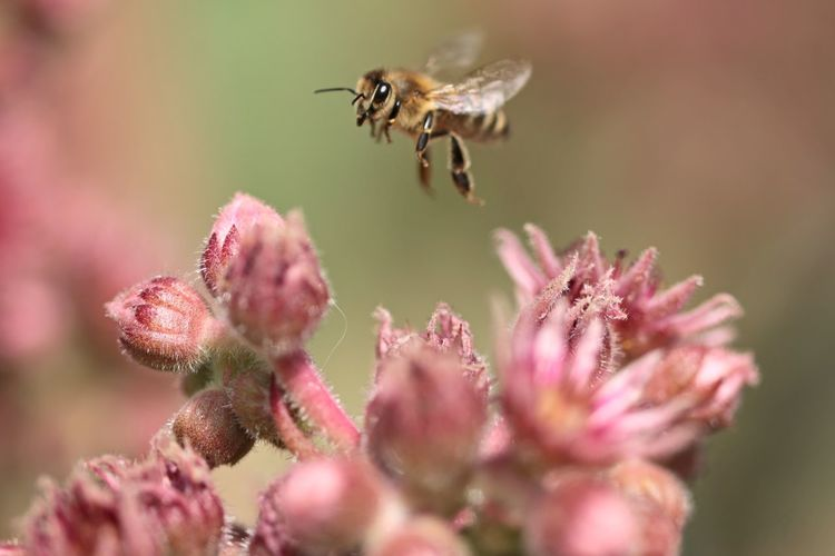 Flying bee Macro Photography Flower Perching Full Length Insect Bee Feeding  Close-up Animal Themes Plant EyeEmNewHere