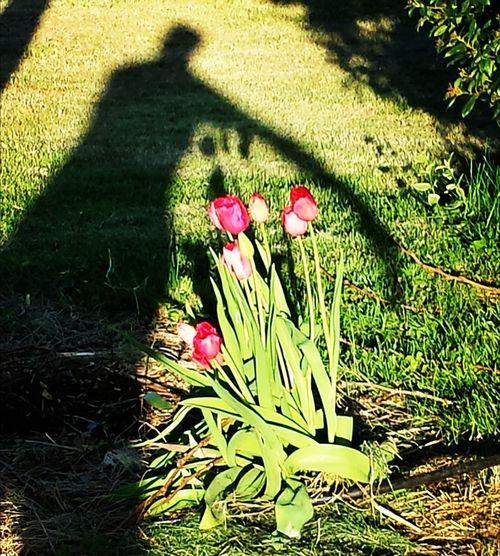 Ombre Silhouette Tulipes. Jardin Tulip Shadow Garden
