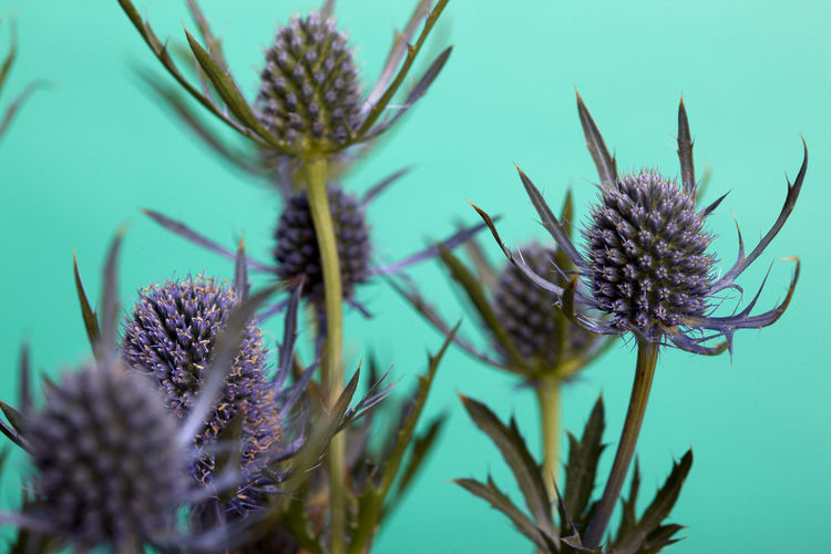 Macro shot of thistle heads with a turquoise background Beauty In Nature Close-up Flower Flower Head Growth Nature No People Plant Selective Focus Thistle Thistleheads