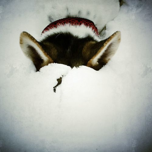 Husky Dog Hideyoface in the Snow
