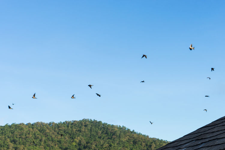 morning birds Animal Themes Animal Wildlife Animals In The Wild Beauty In Nature Bird Blue Chiang Mai   Thailand Clear Sky Day Flock Of Birds Flying Low Angle View Mae Ngat Mid-air Morning Nature No People Outdoors Sky Spread Wings Thai Thailand