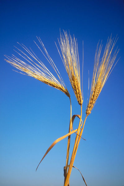 A close up of a single stalk of wheat. Agriculture Blue Blue Sky Bread Close-up Crop  Day Farm Farming Feeding  Feeding Time Field Food Gluten Golden Grow Growing Growth Nature No People Outdoors Plant Stem Wheat World Hunger
