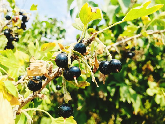 Bird cherry Fruit Berry Fruit Healthy Eating Plant Food Leaf Plant Part Food And Drink Close-up No People Insect Invertebrate Focus On Foreground Growth Day Nature
