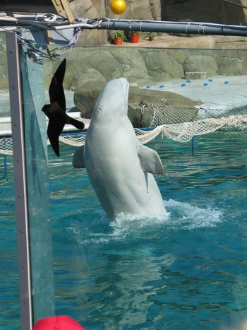 White whale and daw Jackdaw Bird Show Animal Themes Ball Bird Day Mammal Nature No People Outdoors Swimming Swimming Pool Water White Whale
