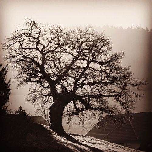 850 year old oak by Waldau, Blackforest, Germany Oak Ancient Tree Silouette & Sky Silhouette Blackforest Backlit Sunrise