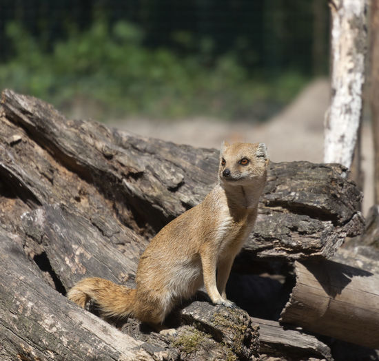 Yellow Mongoose sitting on driftwood - Cynictis penicillata Animal Animal Themes Animal Wildlife Animals In The Wild Camouflage Carnivora Cute Driftwood Feline Full Length Mammal Meerkat Mongoose Namibia Nature No People One Animal Outdoors Playful Portrait Sitting Tree Trunk Wild Wildlife Yellow Mongoose