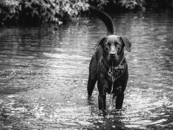 Black Labrador stands ankle deep in water at the stream. Its play time. Cute dog. Black and white image Dogs Of EyeEm Labrador Animal Animal Themes Black And White Canine Day Dog Domestic Domestic Animals Labrador Retriever Lake Looking At Camera Mammal Nature No People One Animal Outdoors Pets Portrait Retriever Vertebrate Water Waterfront Wet