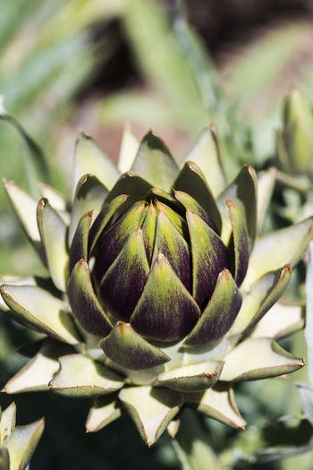 Close-up of artichoke growing in vegetable garden