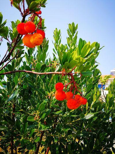 Cerejas do Toino--Tras do Outeiro
