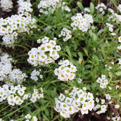 Little white flowers in the backyard 🌸🌸🌸 Flower Flowers LittleWhiteFlower Nature Backyard Garden 🌸🌸🌸