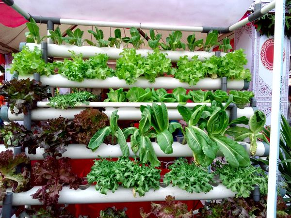 Hidroponics vegetable plants grown in pipes Hidroponics Plants 🌱 Plants Collection Vegetables Home Grown Vegetable Salad Vegetable Garden Vegetable Plant Showcase July