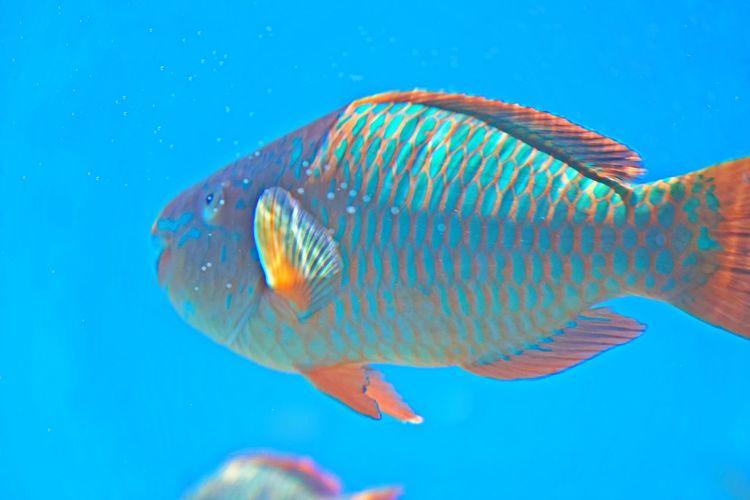 Fish Animal Animal Themes One Animal Animal Wildlife Sea Water Underwater Animals In The Wild Swimming Blue Sea Life Marine No People Nature UnderSea Blue Background