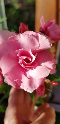 Oleander Blossom Outdoor Photography No People Flower Head Flower Peony  Pink Color Petal Human Hand Rose - Flower Close-up Plant In Bloom Blooming Plant Life