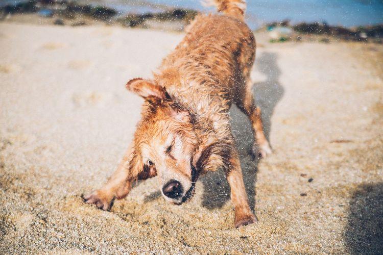 Dog Shaking Off Water At Beach